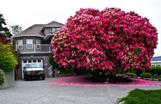 Special pentru gradinarii amatori - cum se ingrijesc corect rododendronul si azaleea de gradina