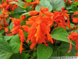 Floare rosie de salvie de gradina