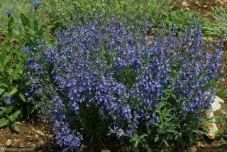 Flori albastre de salvie