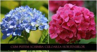 Cum schimbam culoarea hortensiilor
