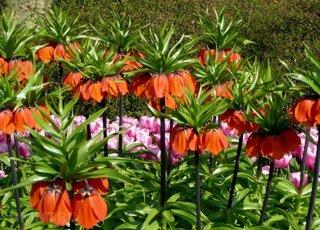 Flori coroana imperiala a Pastelui
