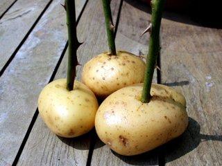 Rasaduri trandafiri in cartofi