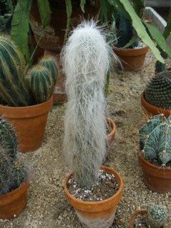 Cephalocereu senilis cactus lanos