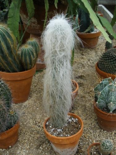 cactus lanos