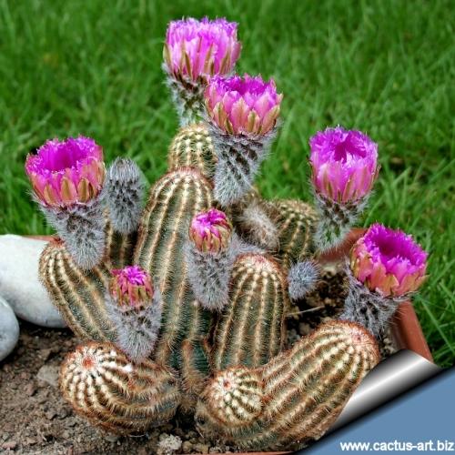 cactus lumanare arici