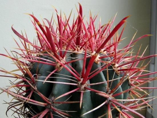 ferocactus ingrijire