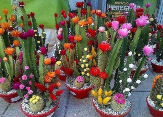 Soiuri diferite de cactusi