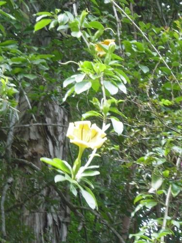 Cupa salbatica aurie solandra in Hawaii