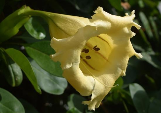 Floare galbena de solandra