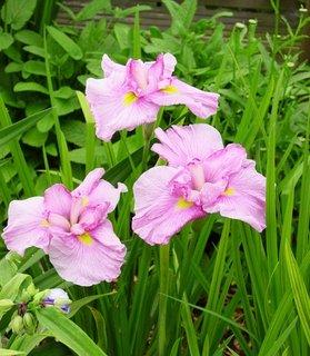 Iris Ensata Momogasumi floare lila