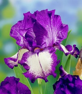 Iris Germanica Stepping Out in doua culori alb cu mov