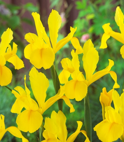 Iris Golden Harvest culoare galbena
