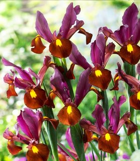 Iris Hollandica Red Ember culoare rosie
