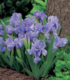 Iris Pumila Azurea culoare mov