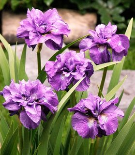 Iris Sibirica Imperial Opal floare batuta mov