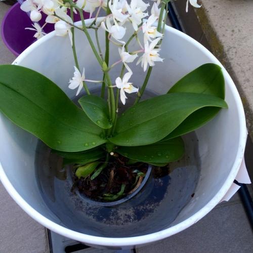 Ghiveci orhidee scufundat in apa