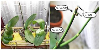 Stimulare inflorire orhidee