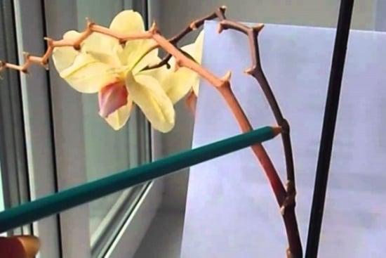 Determinarea punctului de taiere al tijei la orhidee