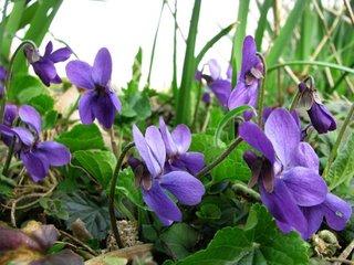 Viola odorata ingrijire