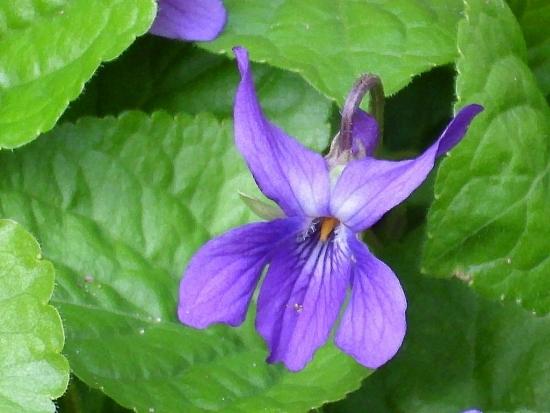 Toporasii - violetele sau micsunelele - pete de culoare in gradina din fata casei