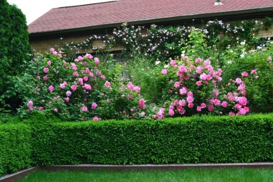 Gard viu si trandafiri cataratori decor gradina moderna