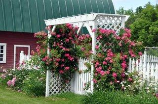 Pergola cu trandafiri urcatori roz