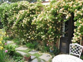 Trandafiri agatatori englezesti