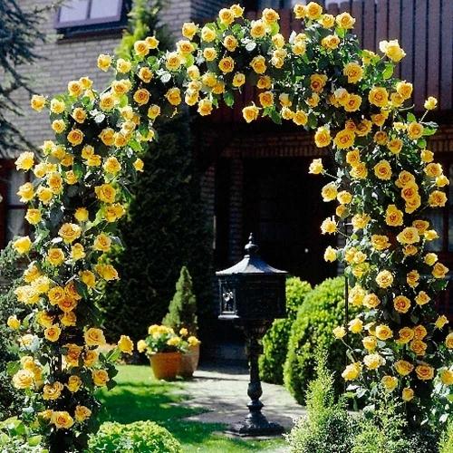 Trandafiri agatatori galbeni pe arcada metalica