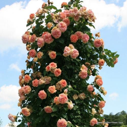 Trandafiri cataratori portocalii