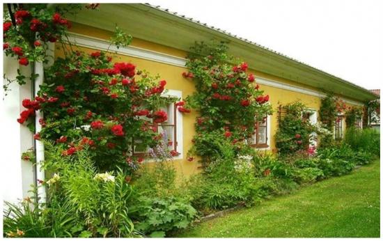 Trandafiri rosii catarati pe zidul casei