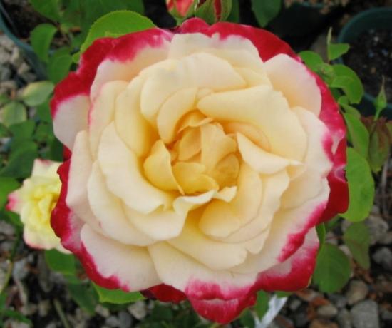 Trandafiri urcatori bicolori galben si rosu