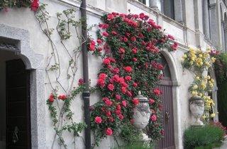 Trandafiri urcatori cu crestere rapida