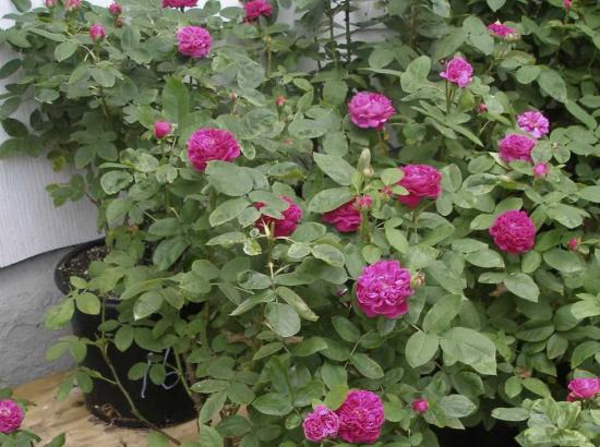 Gradina cu trandafiri Rose de Rescht