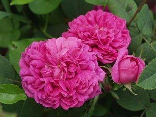 Trandafir Rose de Rescht