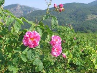Trandafir de dulceata Rosa Damascena