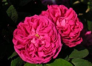 Trandafir de dulceta urcator Sachsengruss