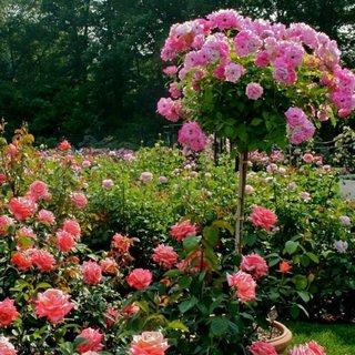 Trandafir copac si trandafiri de gradina clasici