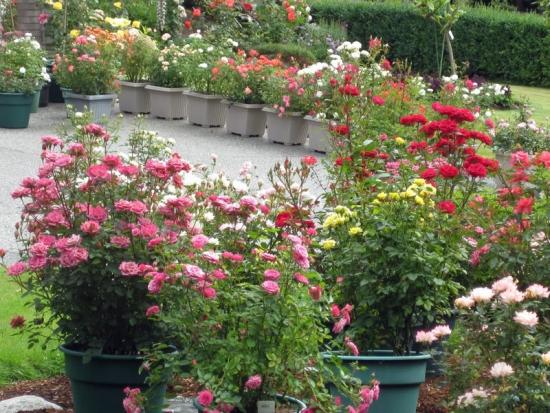 Trandafiri pitici la ghiveci - ingrijire, udare, taiere, inmultire, combatere boli si daunatori