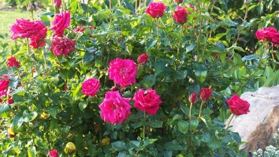 Trandafiri pitici ingrijire