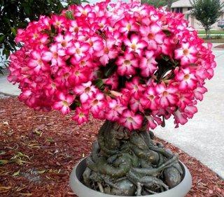 Bonsai frumos trandafirul desertului