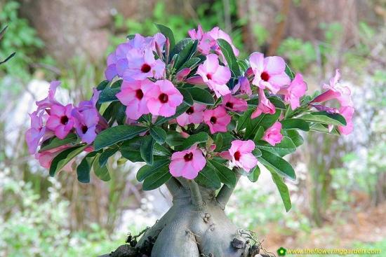 Flori roz trandafirul desertului