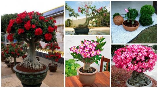 Poze frumoase cu Trandafirul desertului