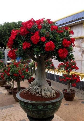 Trandafirul desertului cu flori rosii