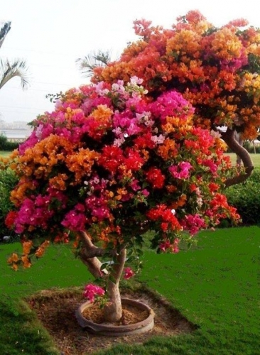 Trandafirul desertului iubeste lumina