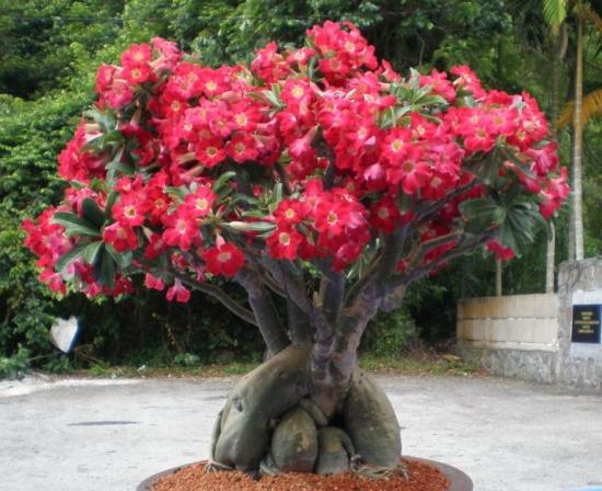 Trandafirul desertului mare cu flori rosii