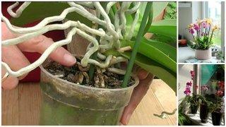 Cand si cum se transplanteaza o orhidee