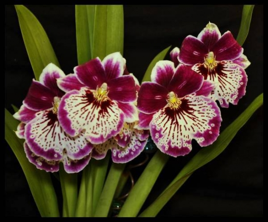 Orhidee alba cu violet inchis