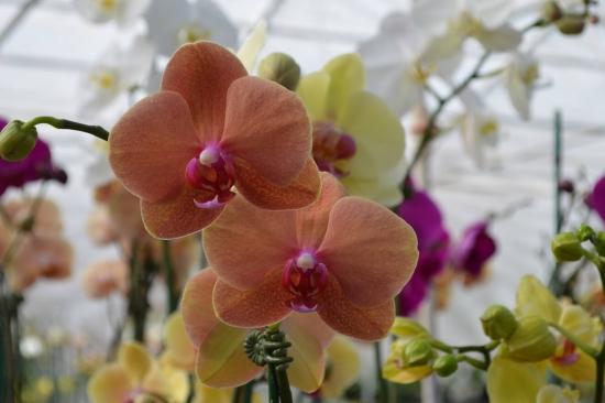 Orhidee faleno portocalie