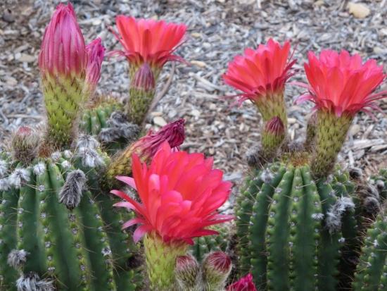 Cactus cu flori rosii