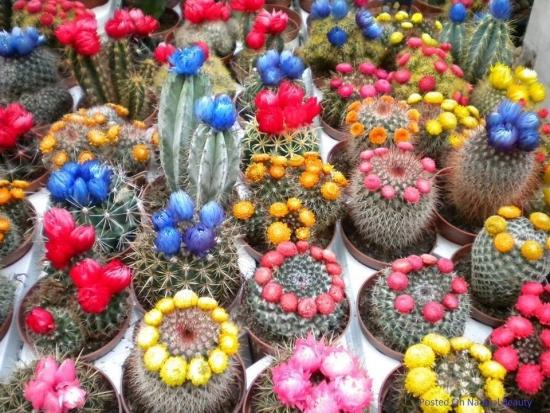 Soiuri de cactus cu flori